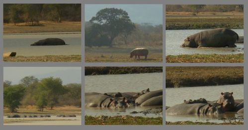 collage hippos