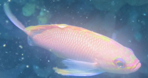 anthias recadré