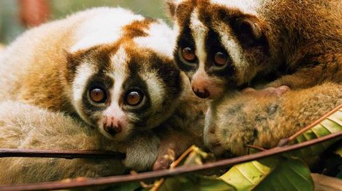 slowloris-julieoneill.jpg