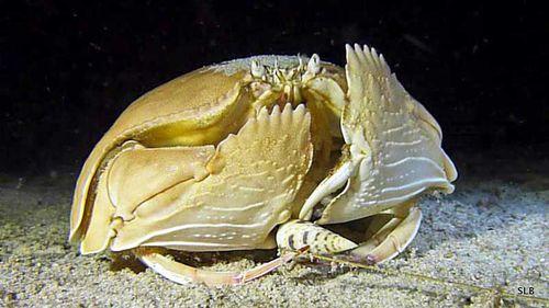 Crabe Calappa calappa-Terebra maculata
