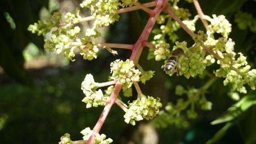 abeille manguier