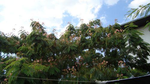 Au revoir aux petits plumeaux roses et blancs de l 39 acacia for Acacia de constantinople prix
