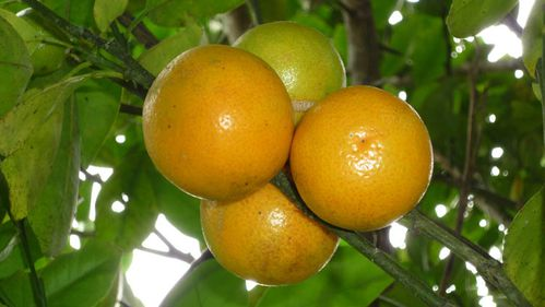 clementines2.jpg