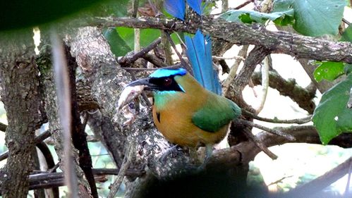 motmot-copie-1.jpg