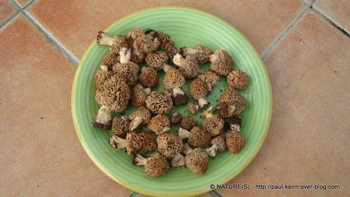 Ou trouver des morilles - natures paul keirn (33)
