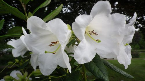 Rhododendron-lindley.JPG