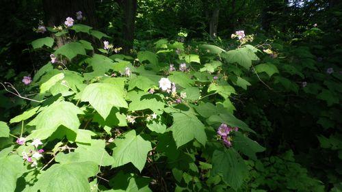Rubus-odoratus--2-.JPG