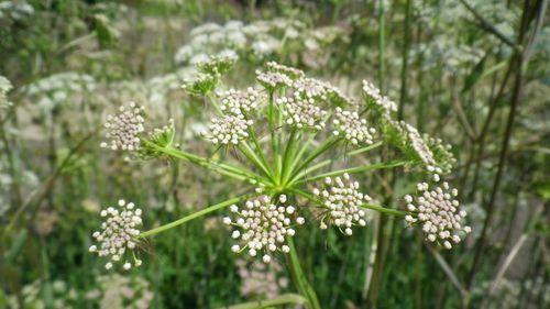 peucedanum-cervaria.jpg