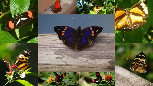 MONTAGES PAPILLONS1