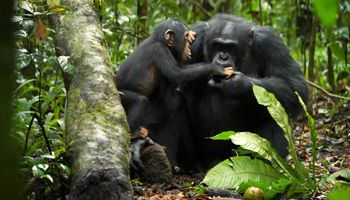 chimpansés DISNEYNATURE-oscar6