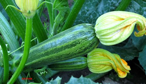COURGETTES (1)