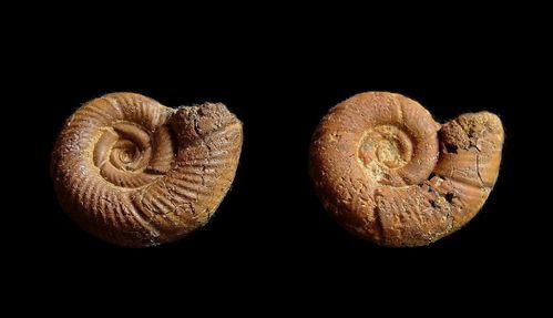 1 - Oxfordien - Properisphinctes bernensis - Loriol 1898 - 14 mm