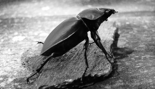 scarabéB