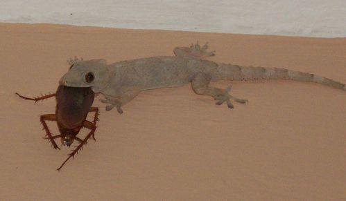 comment chasser le gecko