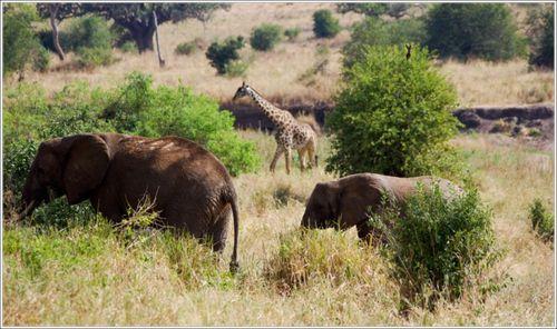 elephants-et-girafe du tarangire