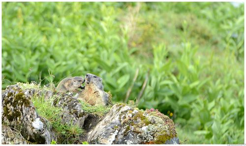 Marmottes-2013 1544