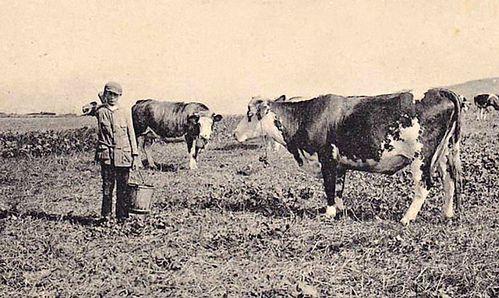Cauchoise-(vache-de-gauche)---Yport-76---début-du-XXe-siè