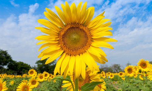 grand-tournesol1.jpg