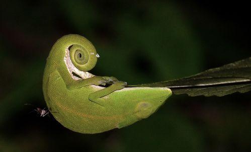 caméléon et moustique
