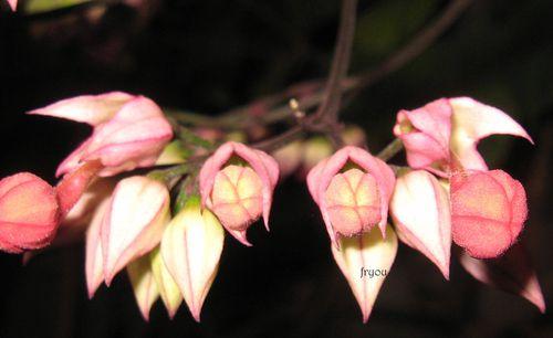 boutons-de-fleurs 1646