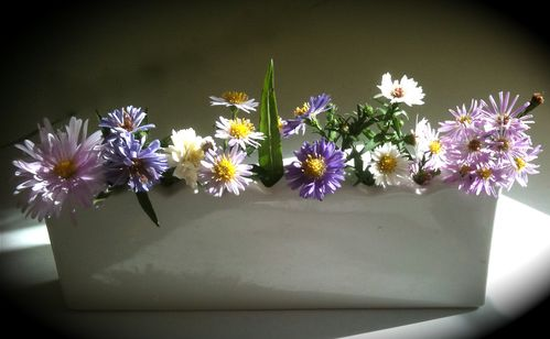 asters dautomne