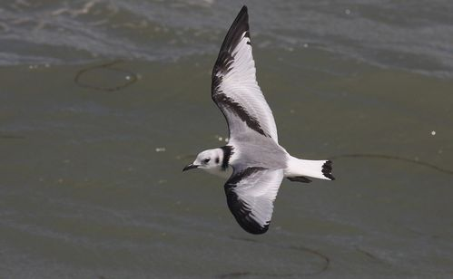 mouette-tridactyle.jpg
