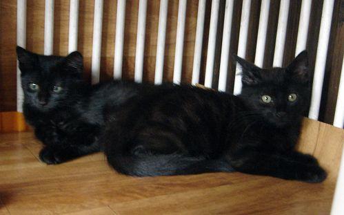 Chatonnes noires011