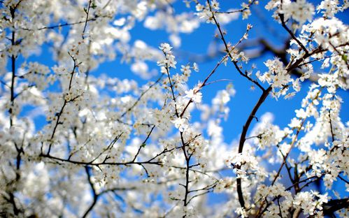 wallpaper-tree-pictures-blossoms-and-blue-sky.jpg
