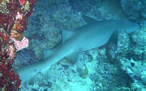 requin nourrice sev fran