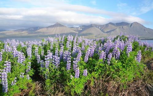 Lupins-2