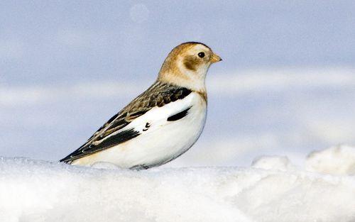 bruant.des.neiges.rabi.1g.jpg