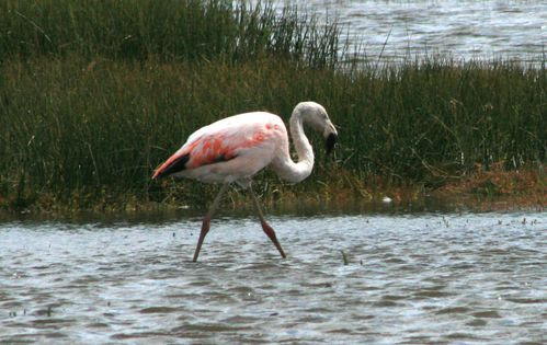 Calafate flamants4