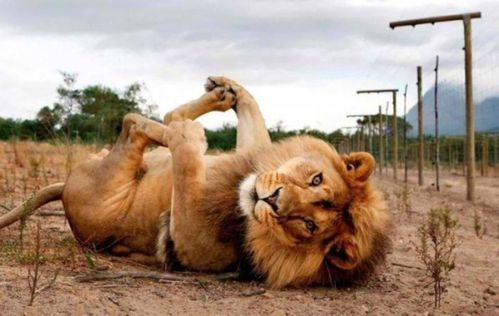 relax-lion