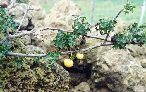 Solanum sodomaeum B El Khelifa 26-02-2012