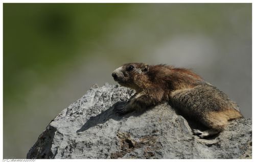 marmottes 1240 8447