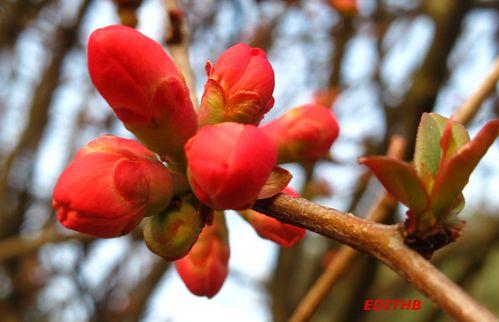 cognassier du japon fleurs roses (1)