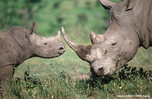 white-rhino-109044_74764.jpg