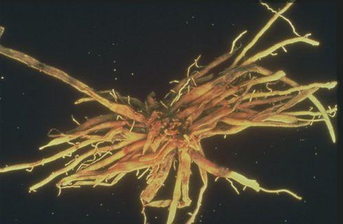 racines-asperge.jpg