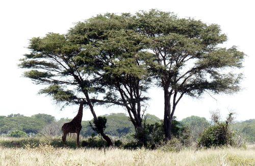 girafe de Hulhulwe 2