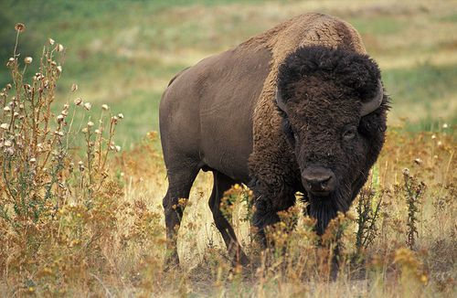 bison-americain.jpg
