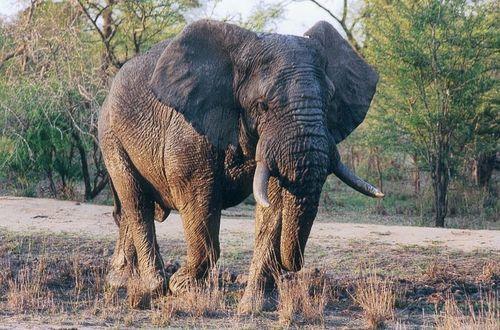 800px-Elephants du Kruger