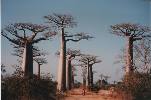 BAOBABS BROUETTE