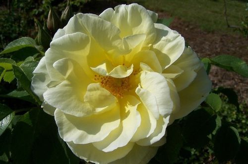 11219-Rosa-Gelbe-Dagmar-Hastrup