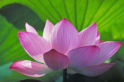 le lotus fleur sacr e et nationale de l 39 inde pinklotusinindia. Black Bedroom Furniture Sets. Home Design Ideas