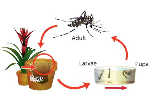 Aedes%20Life%20Cyce