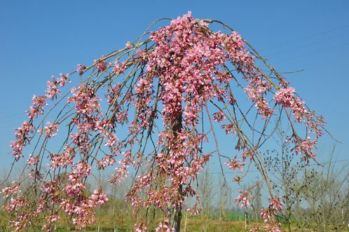 Prunus-printemps-2012 0040 (Copier)