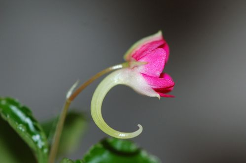 impatiens-kili-copie-1.jpg