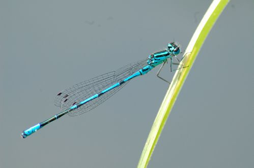 agrion-jouvencelle.jpg