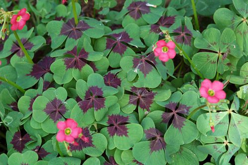 oxalis--iron-cross-.jpg