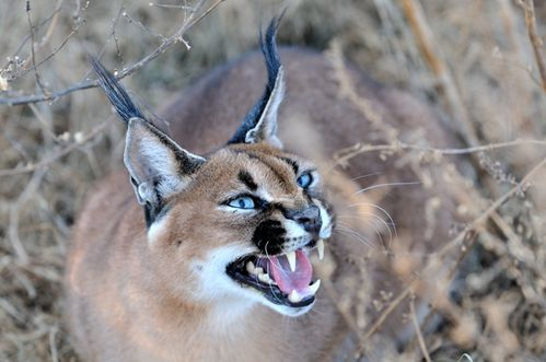 Caracal -M. Drouilly